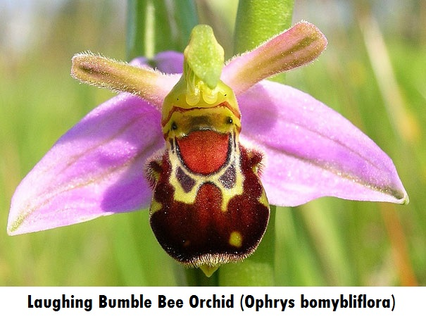 flowers-look-like-animals-people-monkeys-orchids-pareidolia-15