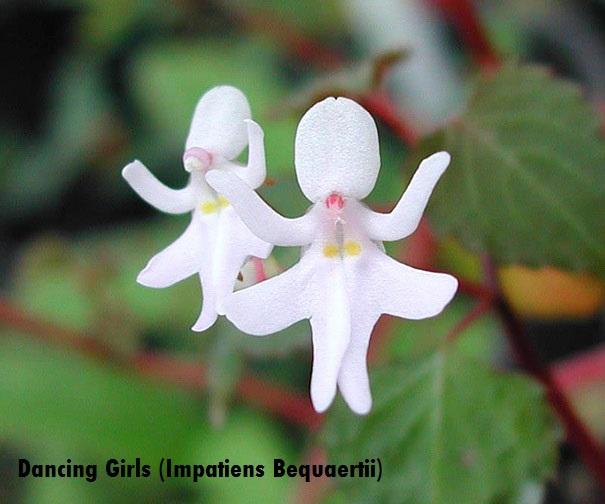 flowers-look-like-animals-people-monkeys-orchids-pareidolia-35
